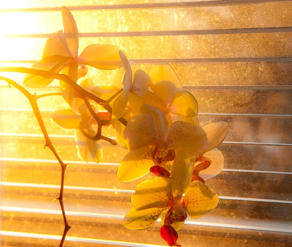 MorningOrchids1_4561