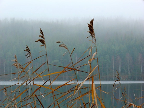Fog and reeds