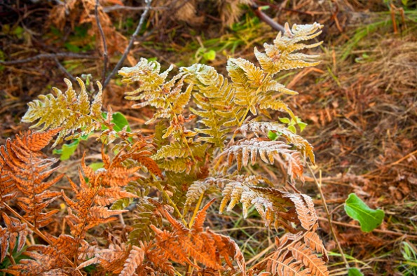 FrostFallFerns2_5940
