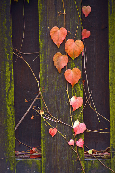 HeartLeaves3_0584