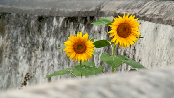 2SunFlowers_1730
