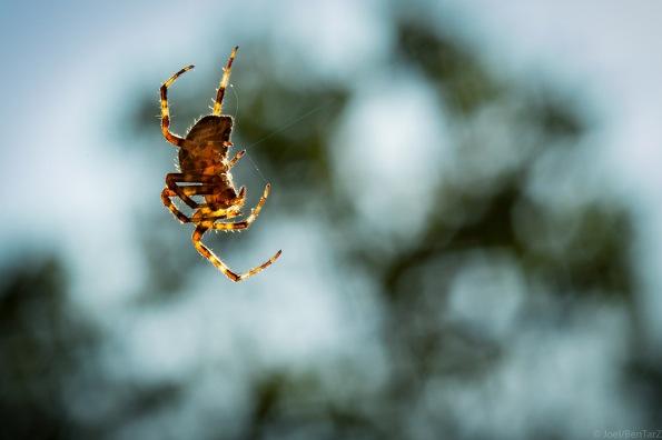 spider-0242