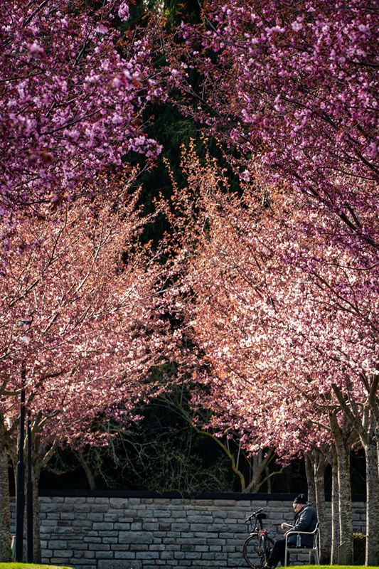 CherryBlossomBook1050574