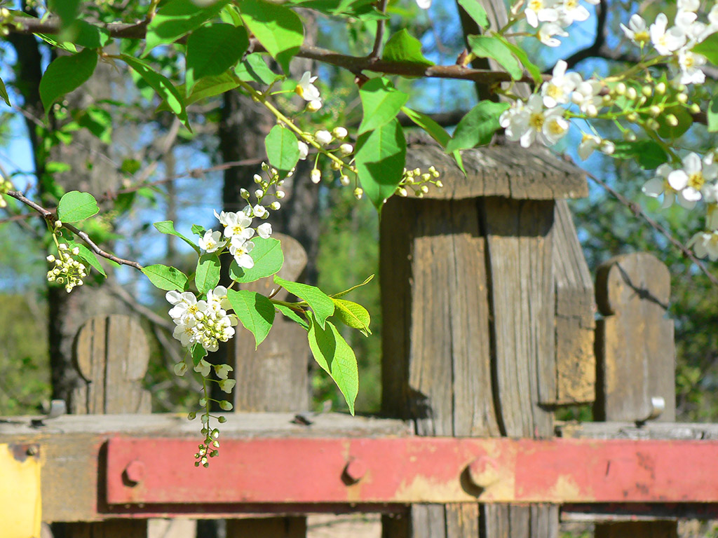 Crucifix fence and blossoms